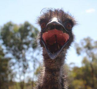 Happy Emu at Avondale Farm - National Trust WA