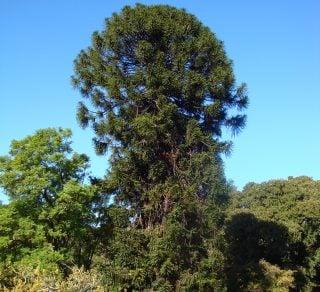 Bunya Bunya Pine