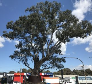 2019 Victorian Tree of the Year Winner