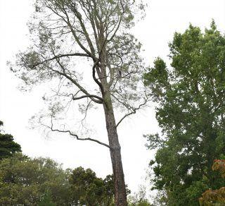 Digger Pine