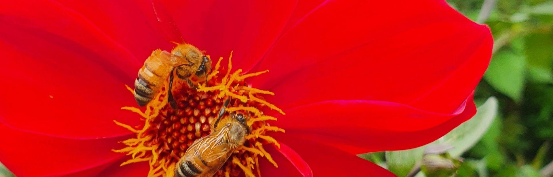 European bees in the Persian Carpet garden, Retford Park