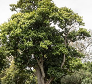 Blush Tulip Oak