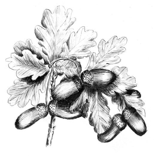 Emily Rose Twynam acorn sketch